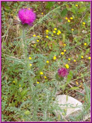 Chardon en fleurs et fleurettes dans la garrigue des Alpilles (Bouche du Rhône)