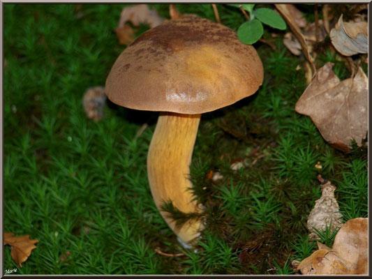 Bolet bai en forêt sur le Bassin d'Arcachon