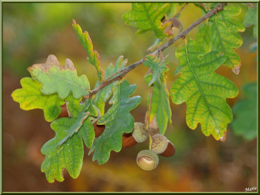 Glands de Chêne Pédonculé et une cupule vidée de son habitant, flore Bassin d'Arcachon (33)