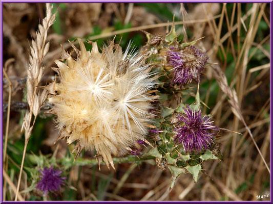 Fleurs de chardon et akène dans la garrigue des Alpilles (Bouche du Rhône)