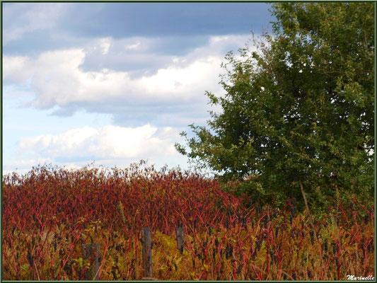 Méli mélo forestier : Teinturiers ou Raisins d'Amérique, bruyères, chênes et pins, forêt sur le Bassin d'Arcachon (33)