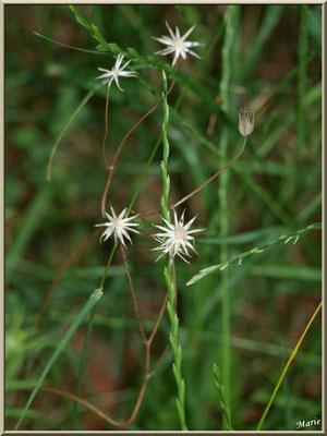 Herbacée en fleurs