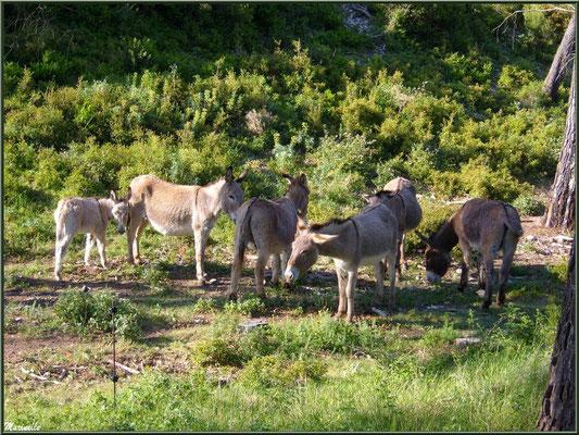 Petits ânes dans la garrigue des Alpilles (Bouches du Rhône)