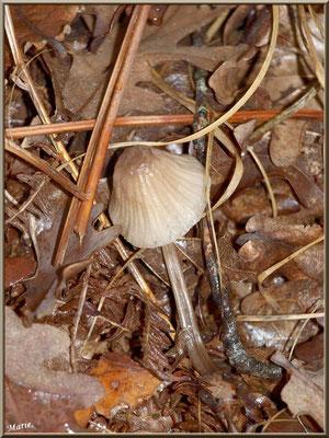 Coprin Desséminé en forêt sur le Bassin d'Arcachon