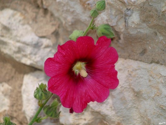 Rose trémière dans une ruelle à Talmont-sur-Gironde (Charente-Maritime)