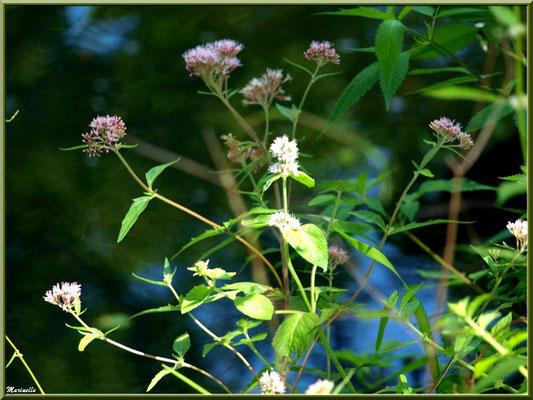 Eupatoire Chanvrine ou Chavrin ou Herbe de St Cunégonde ou Origan des marais ou Trèfle de terre, flore sur le Bassin d'Arcachon (33)