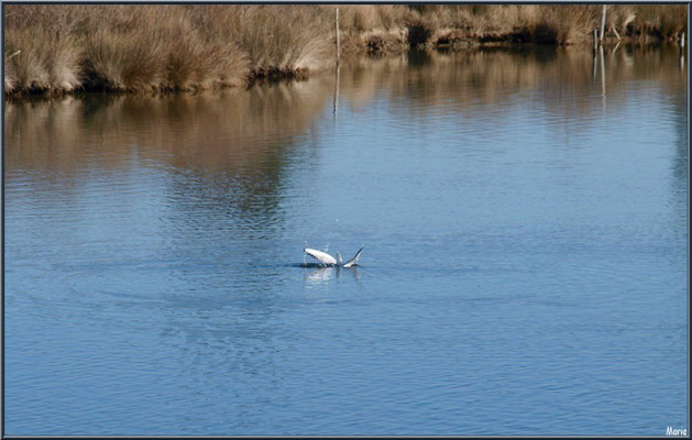 Mouette en baignade dans un réservoir, Sentier du Littoral, secteur Moulin de Cantarrane, Bassin d'Arcachon