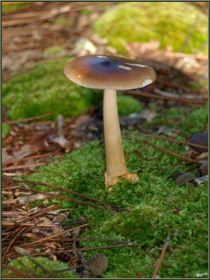 Amanite Fauve en forêt sur le Bassin d'Arcachon