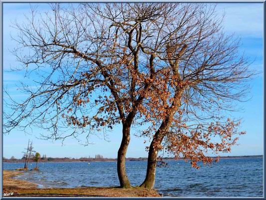 Chêne solitaire en bord de rive du Lac de Cazaux (La Teste de Buch, Bassin d'Arcachon)