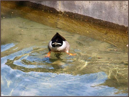 Canard en piquet plongée au fil de l'eau d'un ruisseau à la Pisciculture des Sources à Laruns, Vallée d'Ossau (64)
