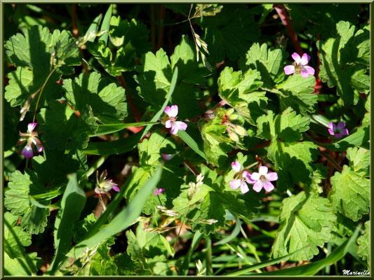 Géranium Molle au soleil, flore sur le Bassin d'Arcachon (33)