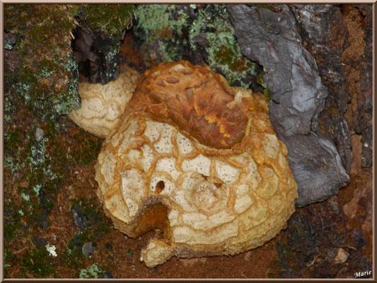 Vesse de Loup géante en forêt sur le Bassin d'Arcachon
