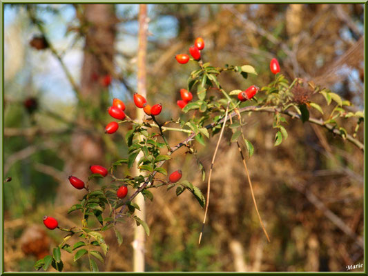 Cynorhodon ou Cynorrhodon ou Gratte-cul, fruit de l'Eglantier ou Rosier Sauvage, flore sur le Bassin d'Arcachon (33)