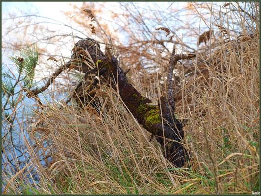 Branche morte parmi les roseaux en bordure du Sentier du Littoral, secteur Moulin de Cantarrane, Bassin d'Arcachon