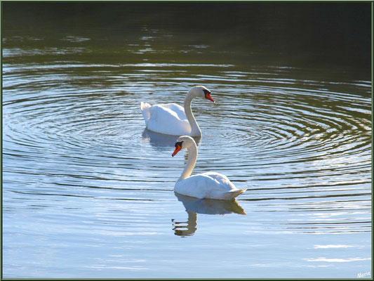 Couple de cygnes dans un réservoir sur le Sentier du Littoral, secteur Moulin de Cantarrane, Bassin d'Arcachon