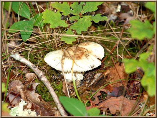 Amanite Citrine en forêt sur le Bassin d'Arcachon