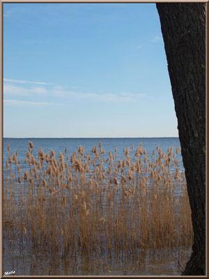 Pin et roseaux en bord de rive du Lac de Cazaux (La Teste de Buch, Bassin d'Arcachon)