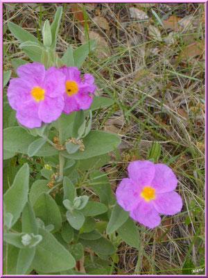 Cistes en fleurs dans la garrigue des Alpilles (Bouche du Rhône)
