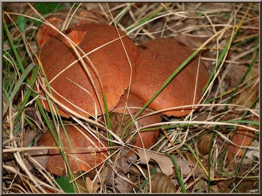Bolets orangés en forêt sur le Bassin d'Arcachon