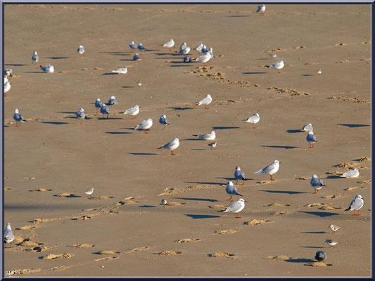 """Mouettes et alouettes de mer à Arcachon sur la plage en """"Ville d'Eté"""""""