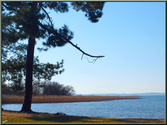 Lac de Sanguinet, pins et roseaux (Landes)