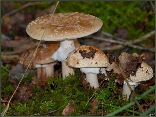 Amanites Panthère en famille en forêt sur le Bassin d'Arcachon