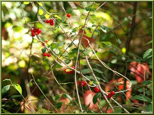"""Baies de tamier ou """"raspounchou"""" ou Herbe aux femmes battues sur fond de vigne vierge, flore sur le Bassin d'Arcachon (33)"""