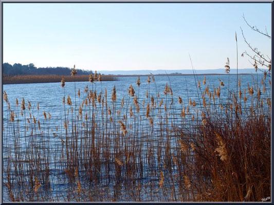Lac de Sanguinet et roseaux (Landes)