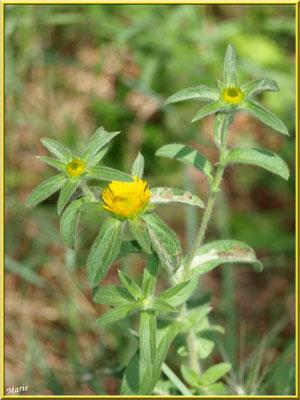 Fleurettes jaunes dans un pré