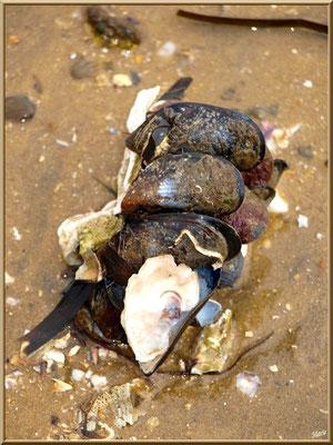 Grappe moules et coquilles d'huître sur la plage, village de L'Herbe, Bassin d'Arcachon (33)