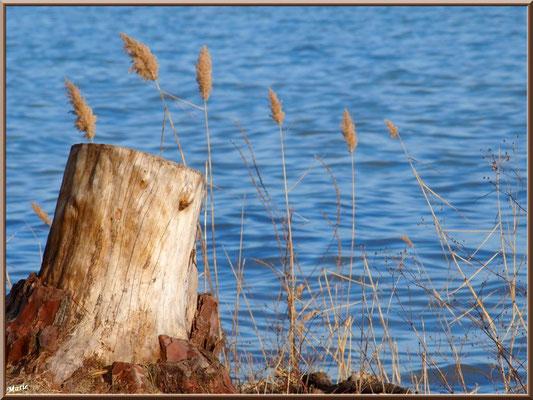 Souche de pin et roseaux en bord de rive du Lac de Cazaux  (La Teste de Buch, Bassin d'Arcachon)