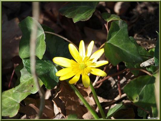 Bouton d'Or ou Renoncule Rampante ou Pied de Poule, flore sur le Bassin d'Arcachon (33)