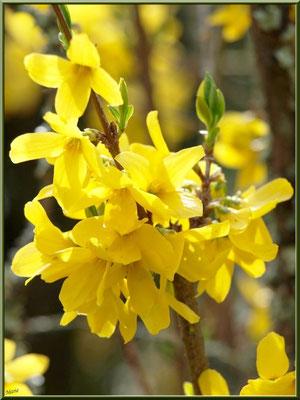 Forsythia printanier en fleurs au Parc de la Chêneraie à Gujan-Mestras (Bassin d'Arcachon)