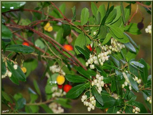 Arbousier fleurs et fruits, flore sur le Bassin d'Arcachon (33)