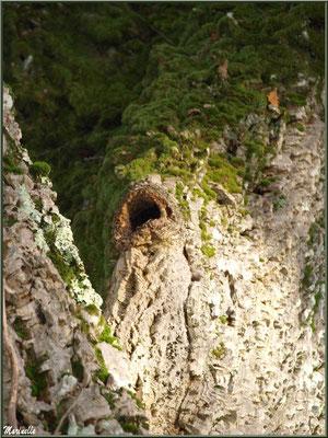Chêne Liège centenaire en forêt de Malakoff (Le Teich), flore Bassin d'Arcachon (33)