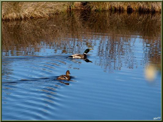 Couple de canards au milieu d'un des réservoirs sur le Sentier du Littoral, secteur Moulin de Cantarrane, Bassin d'Arcachon