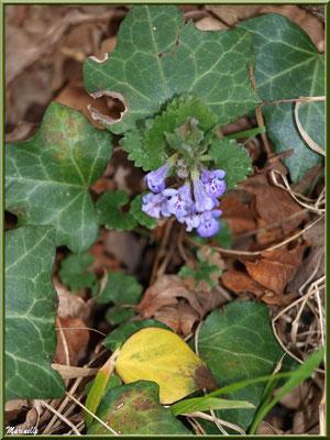 Calament aucoeur d'un lierre, flore sur le Bassin d'Arcachon (33)