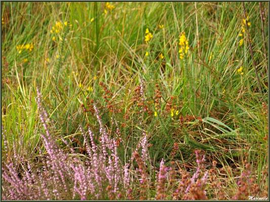 Méli mélo forestier : fougères, bruyère et herbacées, forêt sur le Bassin d'Arcachon (33)