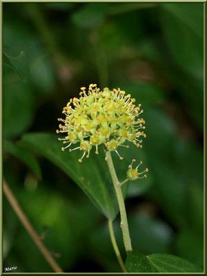 Ombrelle de fleurs de Lierre, flore Bassin d'Arcachon (33)