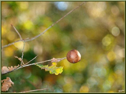 Boule du Chêne ou Galle du Chêne, flore Bassin d'Arcachon (33)
