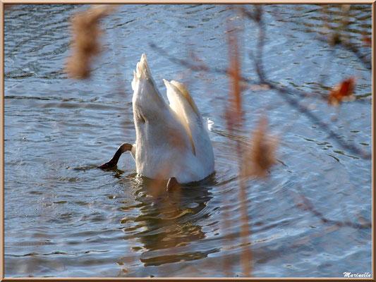 Cygne en plongée dans un réservoir, Sentier du Littoral, secteur Port du Teich en longeant La Leyre, Le Teich, Bassin d'Arcachon (33)