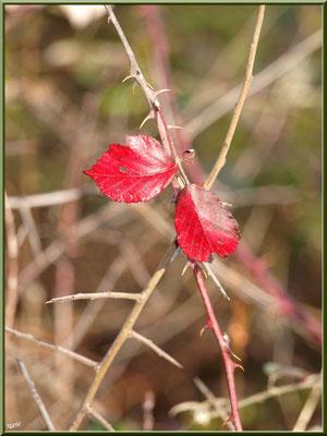 Feuilles de Roncier en tenue automnale, flore Bassin d'Arcachon (33)