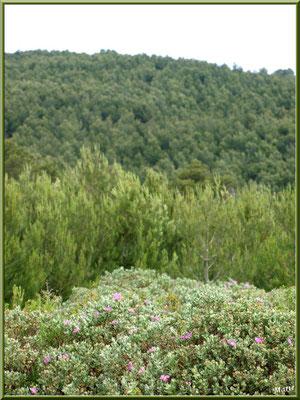 Cistes et pinède dans la garrigue des Alpilles (Bouche du Rhône)