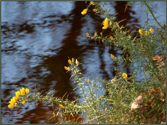 Ajonc en fleurs et reflets sur le Canal des Landes au Parc de la Chêneraie à Gujan-Mestras (Bassin d'Arcachon)