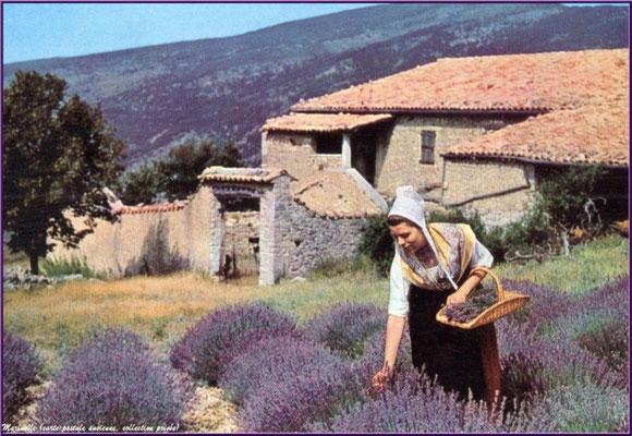 Cueilleuse de lavande (carte postale ancienne, collection privée)