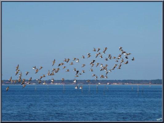 Alouettes de mer en vol à la sortie du port