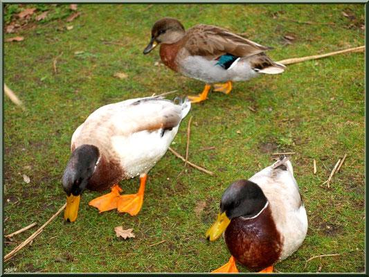 Canards en famille au Parc de la Chêneraie à Gujan-Mestras (Bassin d'Arcachon)