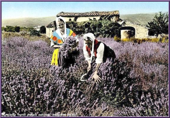 Cueilleuses de lavande (carte postale ancienne, collection privée)