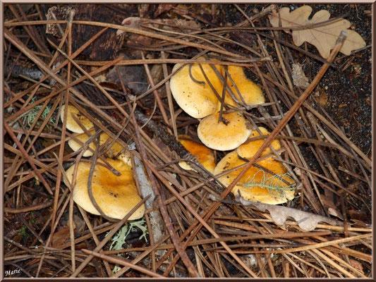 Clitocybes Orangés en forêt sur le Bassin d'Arcachon