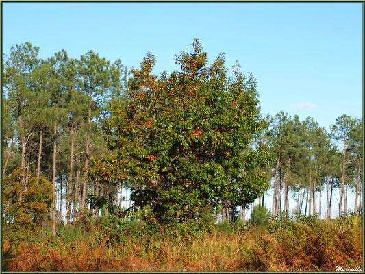 Méli mélo forestier : ajoncs, chênes et pins, forêt sur le Bassin d'Arcachon (33)